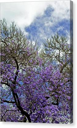 Jacaranda Canvas Print by Gwyn Newcombe