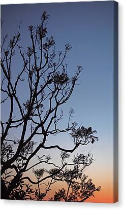 Jacaranda Sunset Canvas Print by Rona Black