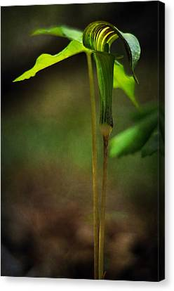 Jack-in-the-pulpit Canvas Print by Rebecca Sherman