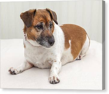 Jack Russell Portrait Canvas Print by Colin and Linda McKie