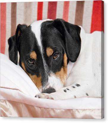 Jack Russell Terrier Dog - Square Format Canvas Print by Natalie Kinnear