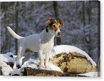 Jack Russell Terrier In Snow Canvas Print
