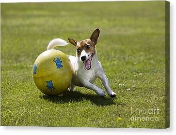 Jack Russell Terrier Plays With Ball Canvas Print by Johan De Meester