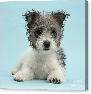 Jack Russell X Westie Pup Canvas Print