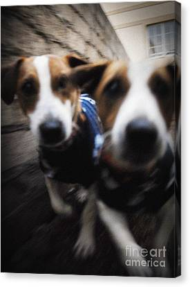 Canvas Print featuring the photograph Jack Russells by Michael Edwards