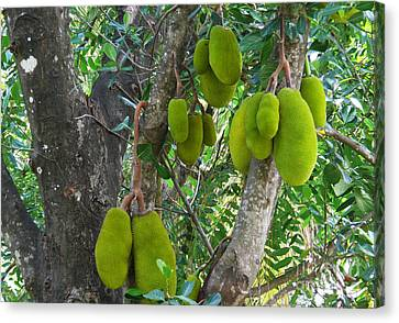 Jackfruit Canvas Print by Anuj Nair