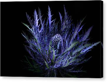 Jackpot Blue Thistle Canvas Print