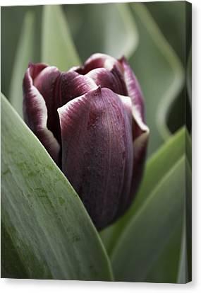 Jackpot Tulip Canvas Print