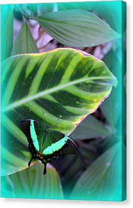Jade Butterfly With Vignette Canvas Print by Carla Parris