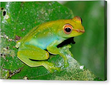Jade Tree Frog, Malaysia Canvas Print by Fletcher & Baylis