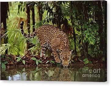 Jaguar Drinking Canvas Print by Frans Lanting MINT Images