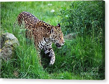 Jaguar On The Prowl Canvas Print