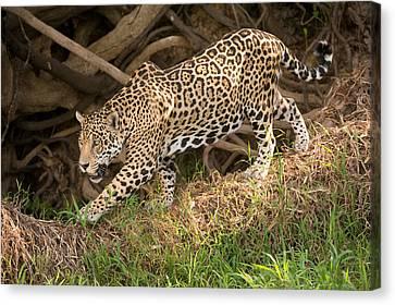 Jaguar Panthera Onca Foraging Canvas Print by Panoramic Images