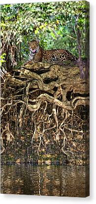 Jaguar Panthera Onca Resting Canvas Print by Panoramic Images