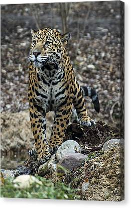 Jaguar Canvas Print by Phil Abrams