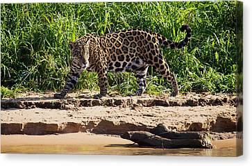 Jaguar River Walk Canvas Print by David Beebe