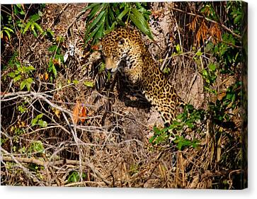 Jaguar Vs Caiman 2 Canvas Print by David Beebe