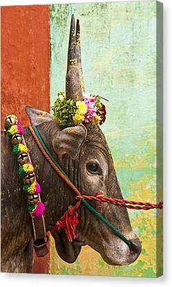 Canvas Print featuring the photograph Jallikattu Bull by Dennis Cox WorldViews