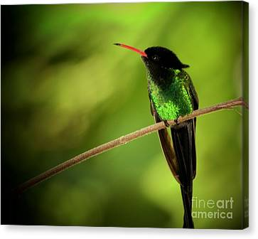 Jamaican Hummingbird 2 Canvas Print