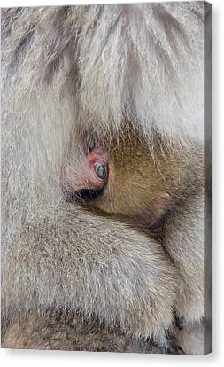 Japan, Jigokudani, Snow Monkey Baby Canvas Print