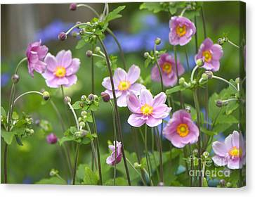 Japanese Anemones Canvas Print by Sharon Talson