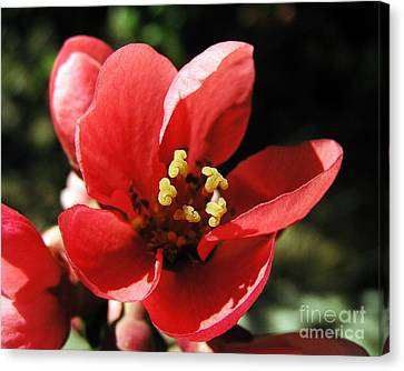 Canvas Print featuring the photograph Japanese Apple Flower by Vesna Martinjak