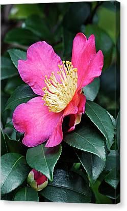 Camellia Canvas Print - Japanese Camellia (camelia Japonica) by Dr. Nick Kurzenko