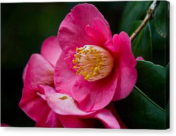 Japanese Camellia-the Official State Flower Of  Alabama Canvas Print by Eti Reid
