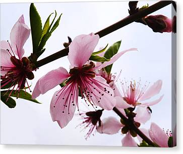 Japanese Cherry Tree Canvas Print