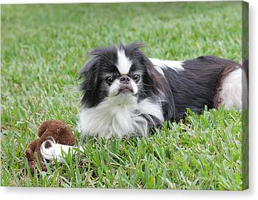Japanese Chin - 1 Canvas Print by Rudy Umans