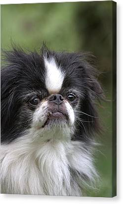 Japanese Chin - 3 Canvas Print by Rudy Umans