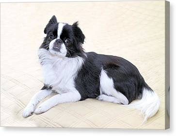 Japanese Chin - 5 Canvas Print by Rudy Umans
