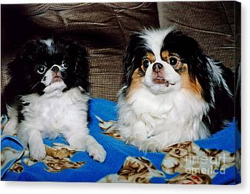 Canvas Print featuring the photograph Japanese Chin Dogs Looking Guilty by Jim Fitzpatrick