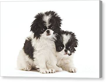 Japanese Chin Puppies Canvas Print by Jean-Michel Labat