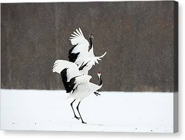 Bonding Canvas Print - Japanese Cranes Displaying by Dr P. Marazzi