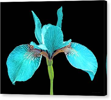 Japanese Iris Turquoise Black Three Canvas Print by Jennie Marie Schell