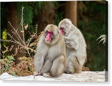 Japanese Macaque (macaca Fuscata) Canvas Print by Photostock-israel