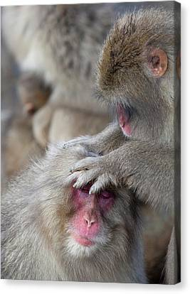 Japanese Macaque Monkey Dominant Grooming Canvas Print