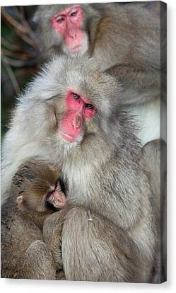 Japanese Macaque Monkey Suckling Baby Canvas Print