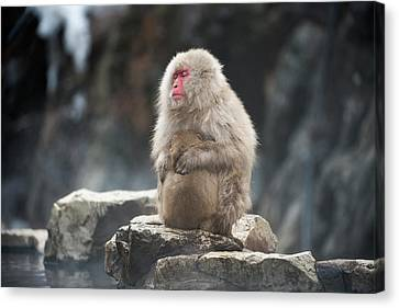Japanese Macaque With Young Canvas Print by Dr P. Marazzi