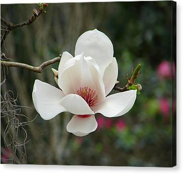 Japanese Magnolia Canvas Print by Lew Davis