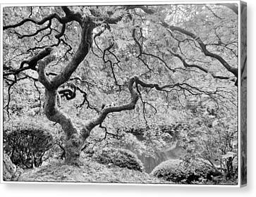 Japanese Maple Black And White Canvas Print by Mark Kiver