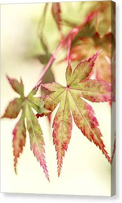 Japanese Maple Canvas Print by Caitlyn  Grasso
