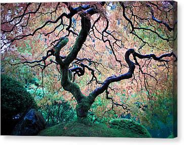 Japanese Maple In Autumn Canvas Print by Athena Mckinzie