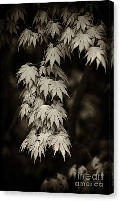 Japanese Maple In Sepia  Canvas Print by Tim Gainey
