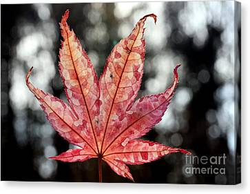 Japanese Maple Leaf - 2 Canvas Print
