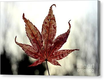 Canvas Print featuring the photograph Japanese Maple Leaf - 3 by Kenny Glotfelty
