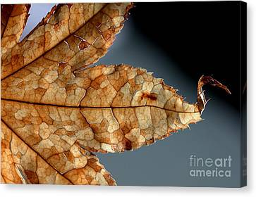 Japanese Maple Leaf Brown - 1 Canvas Print