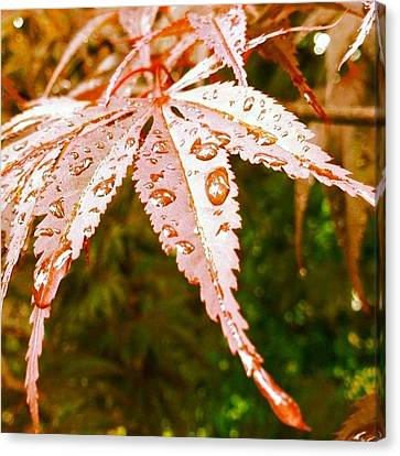Japanese Maple Leaves Canvas Print by Marianna Mills