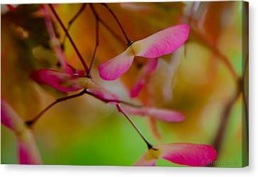Japanese Maple Seedling Canvas Print